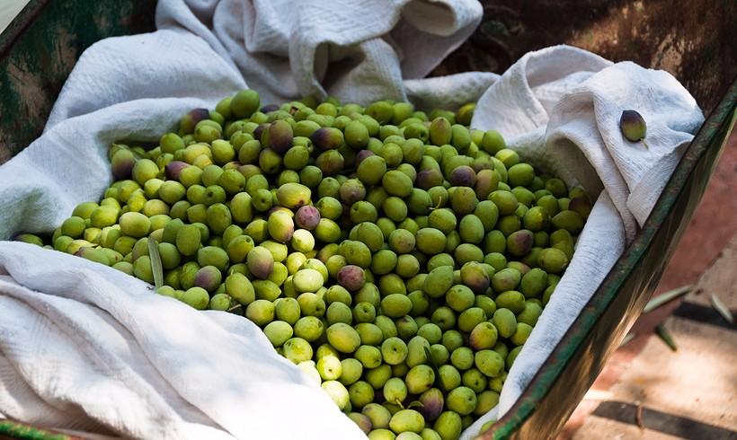 Obavijest o otkupu maslinovog ulja